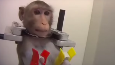 "Photo of ""Barbaric"" treatment of Monkeys at German lab publicised by activists"