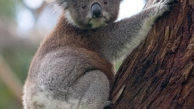 Photo of Koala Bears' natural habitat decimated by Australian Bushfires