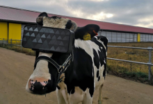 Photo of Virtual Reality headsets given to Russian cows to improve milk production