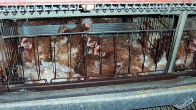 Photo of Bidfood Australia to eliminate battery farm chicken cages