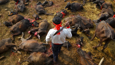 Photo of Thousands of buffalo slaughtered at Gadhimai Hindu Festival in Nepal